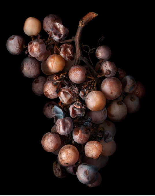 Noble Rot 17 by Peter Lippmann