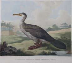 The Pelicanus Sinensis, or Fishing Corovant of China by Alexander, William (1767-1816)