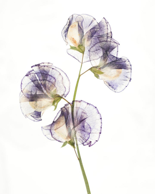 Lathyrus odoratus 'Unwin's Butterfly Striped II' by Ron van Dongen
