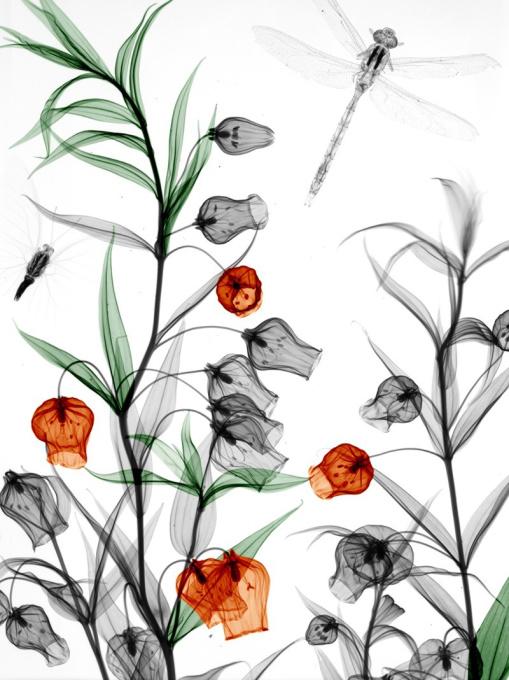 Sandersonia Dragonfly Butterfly by Arie van 't Riet