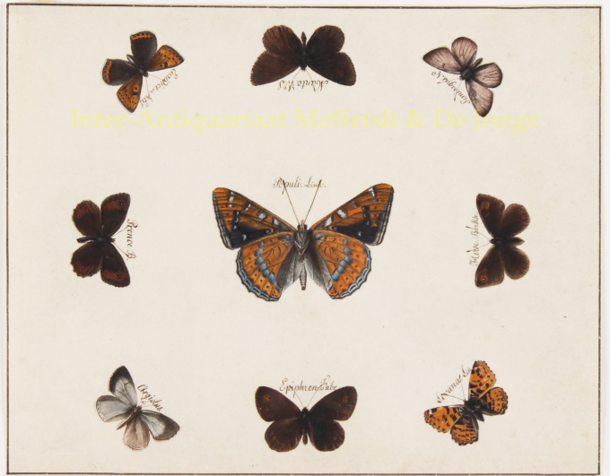 19th century butterfly watercolour painting  by Anonymous