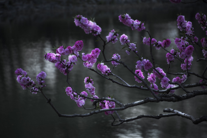 Cherry Blossoms by Shen Wei