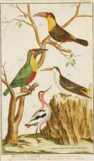 Exotic birds by Benard, Robert (1734 - ?)