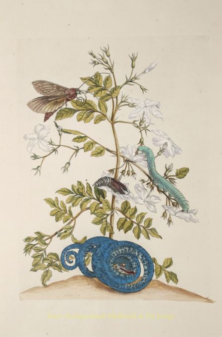 Jasmine by Maria Sibylla Merian