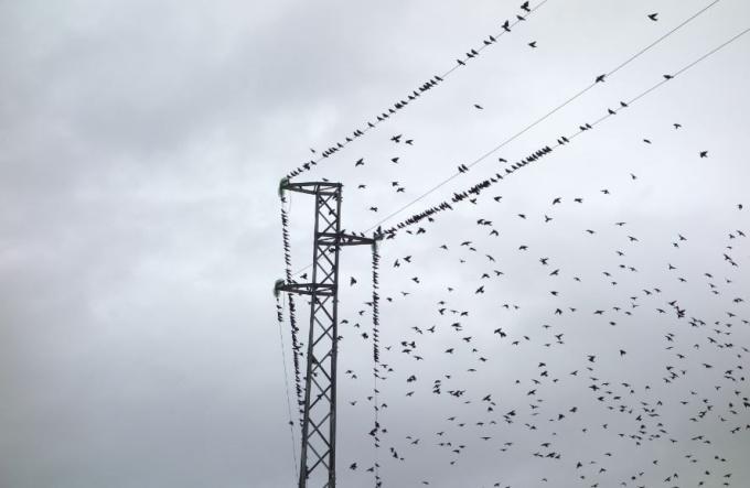 Starlings by Anne Geene