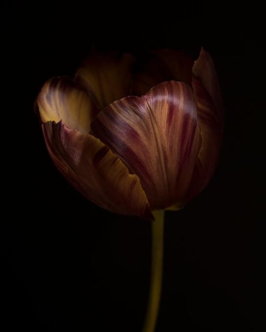 Tulipa Absalon by Ron van Dongen