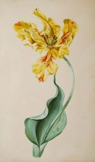 PORTRAIT OF AN OPEN YELLOW TULIP   by Anonymous