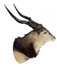 Giant Lord Derby Eland Taxidermy